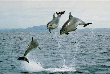 dolphins jumping New Zealand