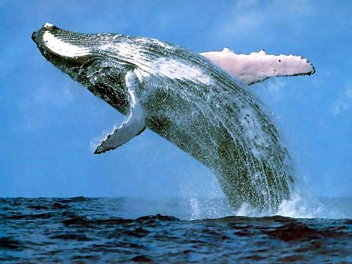 Humpback whale watching New Zealand