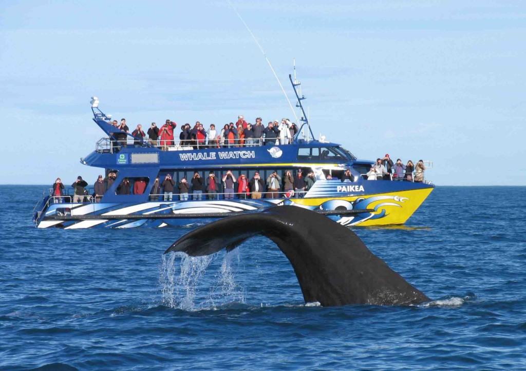 Whale Watching Kaikoura New Zealand